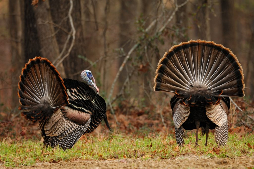 Turkey Hunting West Virginia Outfitter