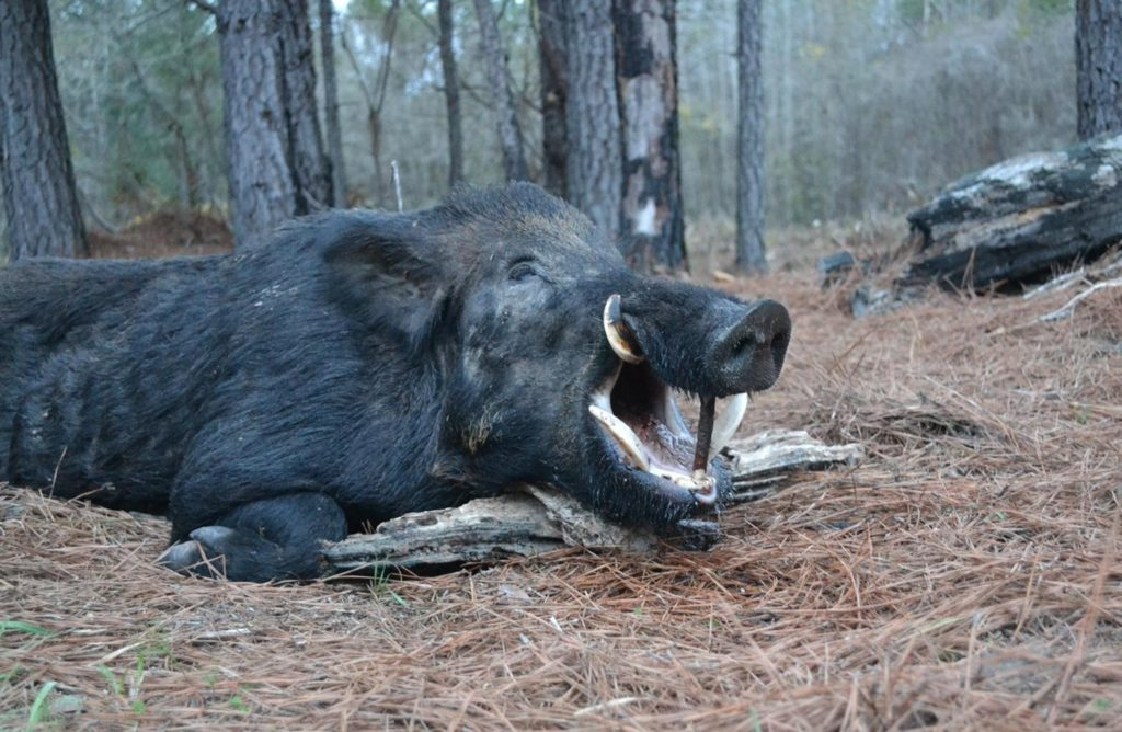 West Virginia hunting for wild boar - Russian boar hunts